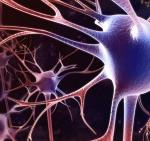 neurogénèse
